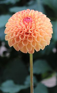 Ms Kennedy | Orange Dahlia | miniature ball
