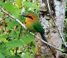 jungle birds | Tropica Broadbilled MottMott Jungle Bird