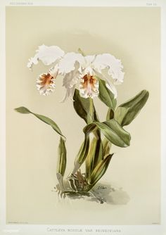Free Public Domain | www.rawpixel.com | Cattleya mossiæ var reineckiana from Reichenbachia Orchids (1888-1894) illustrated by Frederick Sander (1847-1920).