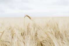 In Your Heart Grows a Place Called Home (No Words) is an art print of a prairie wheat blowing carefree in the wind. Alberta landscape.