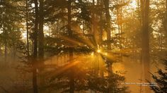 Nature - Misty Beech Grove, Spessart, Bavaria, Germany