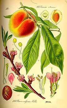 149335 Persica vulgaris Miller / Thomé, O.W., Flora von Deutschland Österreich und der Schweiz, Tafeln, vol. 3: t. 393 (1885)