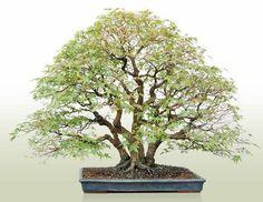 Clump bonsai-Kabubuki