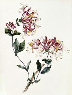 Honeysuckle Vine Tattoo And Flower Tattoos Botanical Tattoo, Botanical Drawings, Botanical Flowers, Botanical Illustration, Botanical Prints, Vine Tattoos, Flower Tattoos, Body Art Tattoos, Tattoo Art