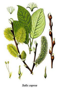 Cleaned-Illustration Salix caprea.jpg