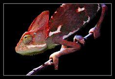 Animale, Animali, Mondo Animale, Camaleonte, Creatura