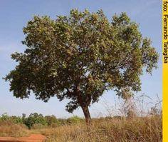Cagaita - Eugenia dysenterica - Cagaiteira com frutos verdes no pé. Brasília, Núcleo Rural Boa Esperança II, 26 de setembro de 2006