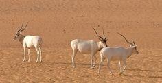 Solo quedan 3 individuos de antílope Adax en el Sáhara