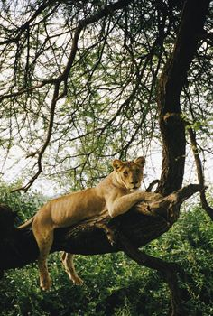 A lioness relaxes on a tree branch at Lake Manyara National Park in northern Tanzania. Photo by Skip Brown.