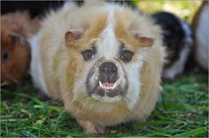 Ursula Di Chito - Meerdog - Tierkreuzung Meerschweinchen und Bulldogge