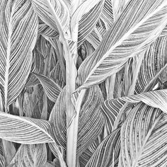 Canna Leaves and Stalk, a Black & White on Paper by Russ Martin.