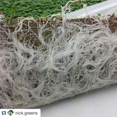 So a bag that came from plants (jute) made to carry a product from a plant (coffee) is now used to grow plants (micro arugula) @plantchicago. Thank you @nick.greens for repurposing our empty burlap bags. So cool. #plants  #specialtycoffee #closedloop #sustainability #beautifulroots #chicago #theplant #backoftheyards #learning #verticalfarming #nftsystem #soilless #grownwithlove #golocal #boutiquefarm #urbanfarming #microarugula #microgreens by 4lwcoffee