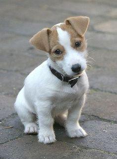 Cutie Pie Jack Russell