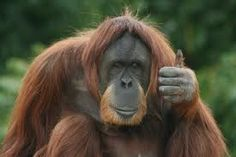 An orangutan, Fu Manchu (Animals fact) - wtf fun facts. Animals are so smart. Wtf Fun Facts, Funny Facts, Random Facts, Primates, Mammals, Rabbit Traps, Funny Animals, Cute Animals, Smart Animals