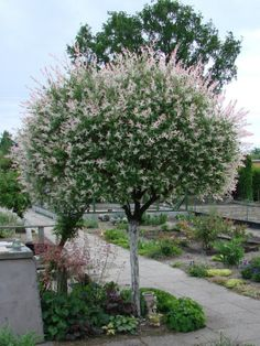 Wierzba Hakuro Nishiki  rozmnażanie Garden Design, Plants, Dappled Willow