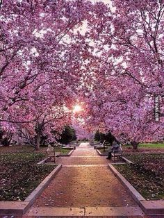 Cherry Blossom Garden in Washington DC.