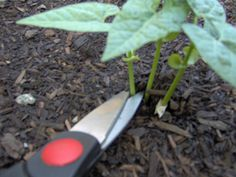 Thinning Seedlings - cut the weaker ones, do not pull them out or it will hurt the roots of the good ones.
