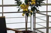 Fruits et verger - Protection du citronnier contre les maladies et parasites