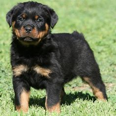 i'm all about mutts and rescue/shelter dogs... but one day i will cave for a purebred rottie...