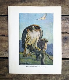 vintage 1930s Red-Tailed Hawk book plate by MouseTrapVintage, $8.00