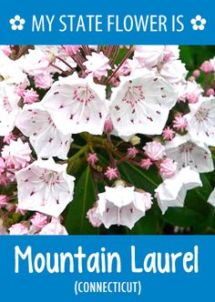 #Connecticut's state flower is the Mountain Laurel. What's your state flower?