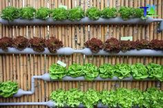 Hydroponics – what is it? Hydroponics is a plant growth system that provides a more precise control of growth media composition. All you need to know about hydroponics is discussed here. Hydroponics is the art Read more… Diy Garden, Edible Garden, Herb Garden, Garden Projects, Edible Plants, Pvc Pipe Garden Ideas, Garden Oasis, Fruit Garden, Diy Projects