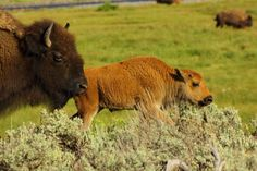 Yellowstone NP Bison & cub