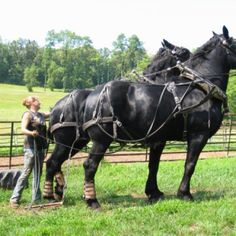 Big Boys Big Horses, Work Horses, Black Horses, Horse Love, All The Pretty Horses, Beautiful Horses, Animals Beautiful, Percheron Horses, Andalusian Horse
