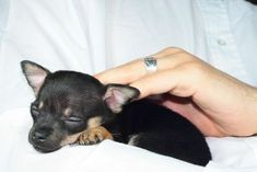 How to Train a Chihuahua Puppy. Apparently I am getting one soon so I needed this.