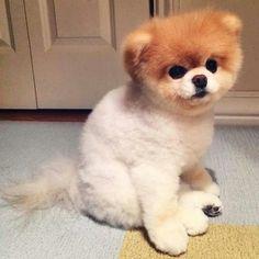 Boo the dog Teacup Puppies, Cute Puppies, Cute Dogs, Dogs And Puppies, Boo The Cutest Dog, World Cutest Dog, Pomeranian Boo, Boo And Buddy, Husky