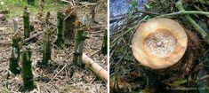 Left image shows incorrect felling practices | Right image shows correct felling