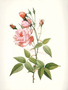 Vintage BOTANICAL Chart Print French 1700s REDOUTE ROSE Chinese rose varieties flower illustrations to frame. $6.98, via Etsy.