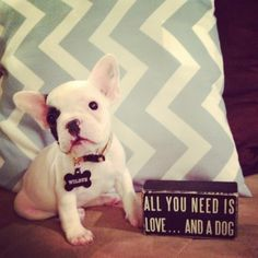Wilbur the french bulldog!