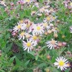Aster ageratoides 'Asmoe' - Japansk asters