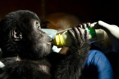 Two baby gorillas rescued in Congo; escalation of smuggling feared (Photo: Luanne Cadd / Virunga National Park) List Of Animals, Baby Animals, Cute Animals, Wild Animals, Baby Gorillas, Orangutans, Chimpanzee, Monkey See Monkey Do, Pic Monkey