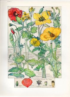 Red Poppy - Wild Flower Botanical print by Isabel Adams - Antique Print