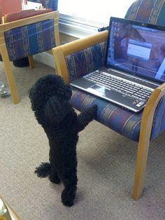 NiKi the toy poodle on his laptop