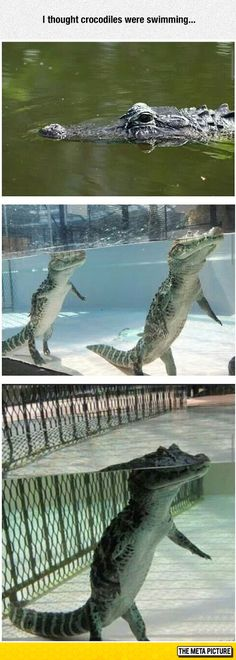 They do swim, but it is worth noting that there once was a bipedal crocodilian relative living in prehistoric times.