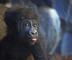1_La bebé gorila VIRUNGA nacida en BIOPARC Valencia cumple 3 meses