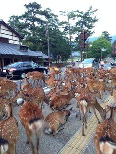 Los ciervos de Nara invaden las calles de la ciudad. ¡Mirad la foto!