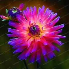 2 Bulb True Purple Dahlia Bulbs Flower,Bonsai Flower Bulb,Symbolizes Courage And Lucky,Home Garden Plant-(Not Dahlia Seeds)