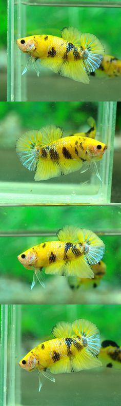 fwbettashmp1438453802 - +++++++ Yellow Tiger HMPK P12 +++++++
