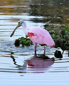 Roseate Spoonbill. Paradise of Birds. FB