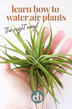 Learn how to care for Air Plants - Clever Bloom Hanging Plants, Indoor Plants, Indoor Gardening, Indoor Herbs, Garden Plant Stand, Cacti Garden, Moss Garden, Plant Stands, Cactus Plants
