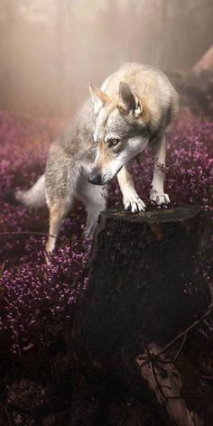 wolf among the heather Mundo Animal, My Animal, Beautiful Creatures, Animals Beautiful, Of Wolf And Man, Wolf Hybrid, Animals And Pets, Cute Animals, Saarloos