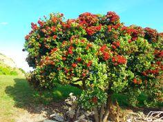 Loving the Pohutakawa Trees in South Bay, Kaikoura New Zealand, Paradise, Trees, Plants, Pictures, Beauty, Photos, Tree Structure, Plant