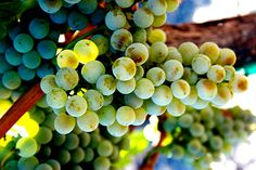 South Africa's Ghost Wine: The Great Mystery of Semillon
