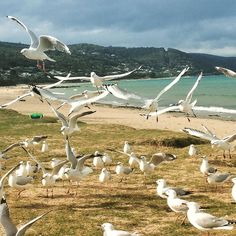 On the lawn in Lorne! A beautiful beach side town on the #greatoceanroad - very relaxed with a touch of #melbourne #style  #visitgreatoceanroad #victoria #visitvictoria #instagram #travel #coast #beachlife #seagull #bird #instadaily #instagood #ig_australia #ig_countryside #igdaily #igtravel #holiday by fiona_travels