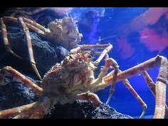 El apareamiento del cangrejo azul bajo el agua