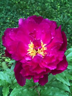 This rich, deep-colored herbaceous peony blooms a little later than the tree peonies, but it is just as beautiful. Fine Gardening, Container Gardening, Strawberry Flower, Tree Peony, Photos On Facebook, Peonies Garden, Yellow Leaves, Nature Plants, Garden Photos